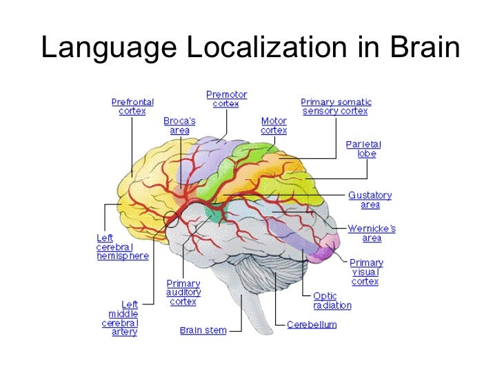 an analysis of the relation of language to brain functions Five tips for parents to assist language development:  synapses originally are  weak meaning the signal won't be fully passes between neurons  theories  about how the brain functions have been made that account for this.