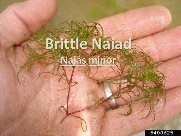 Brittle Naiad  Najas minor