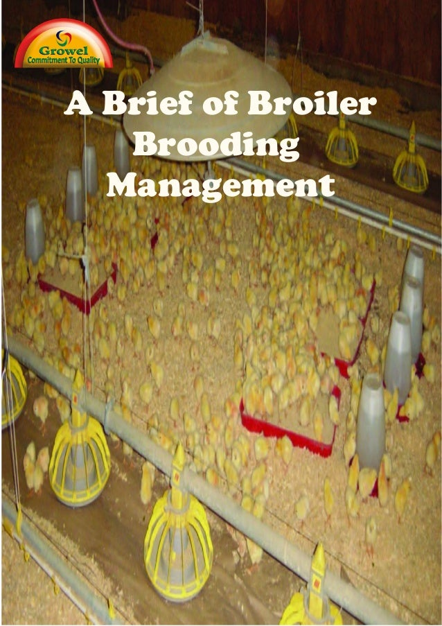 Broiler Brooding Management.