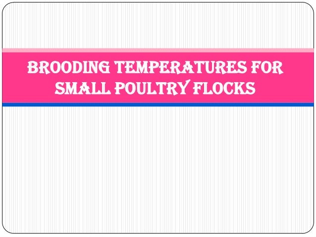 Brooding Temperatures for Small Poultry Flocks