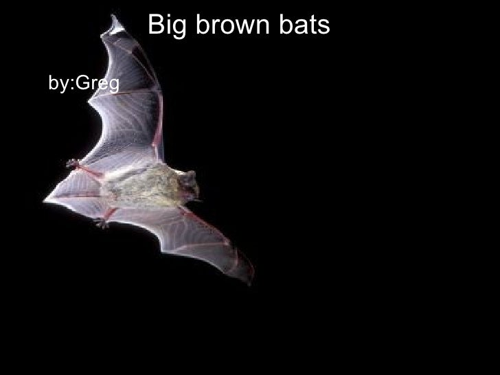 Big brown bats <ul><li>by: Greg </li></ul>