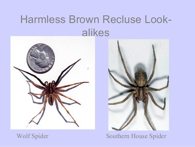 Spiders That Look Like Black Widows But Arent  Orkincom