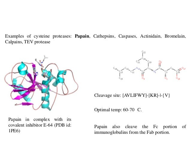 Cysteine Protease Mechanism Cysteine Proteases Papain