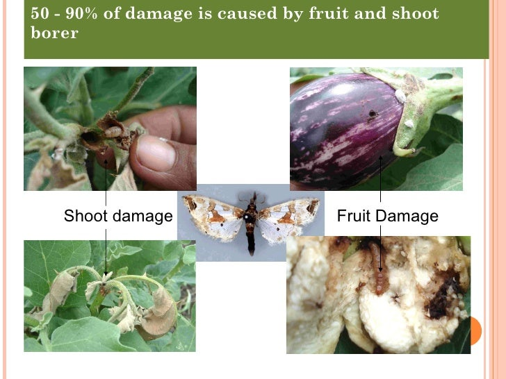 thesis on brinjal fruit and shoot borer Eggplant fruit and shoot borer (efsb), leucinodes orbonalis, is the most damaging pest of eggplant in south and southeast asia its lar-vae feed inside eggplant fruit, making the fruit.