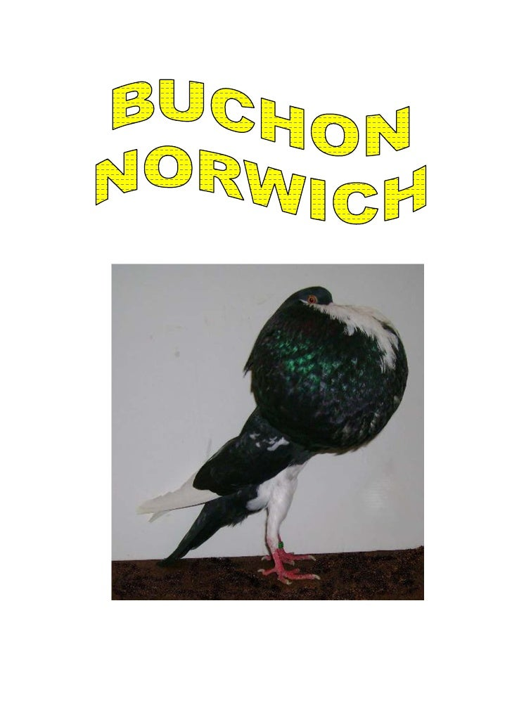 El buchón Norwich y no Noruego como se le llama en México (erróneamente) es una de las razas de buchones más llamativas. E...