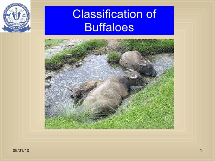 Classification of Buffaloes 08/31/10