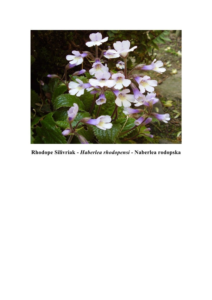 Rhodope Silivriak - Haberlea rhodopensi - Naberlea rodopska