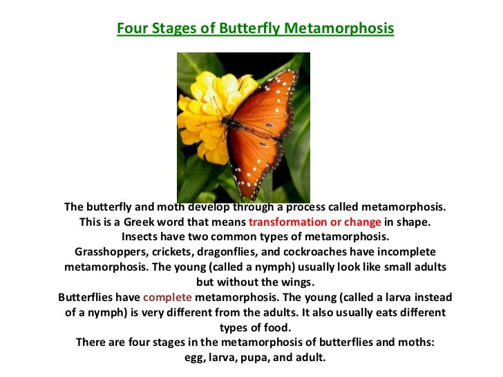 Four Stages of Butterfly Metamorphosis The butterfly and moth develop through a process called metamorphosis.    This is a...