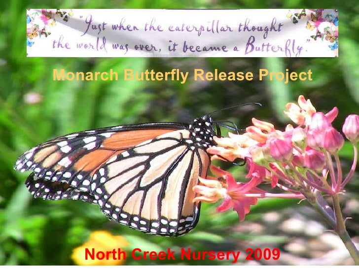 Monarch Butterfly Release Project American Beauties Native Plants 2009