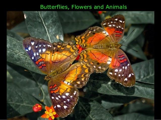 Butterflies Flowers Animals