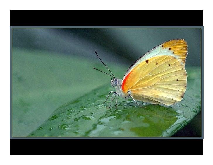 Butterfly Daniel Gerard