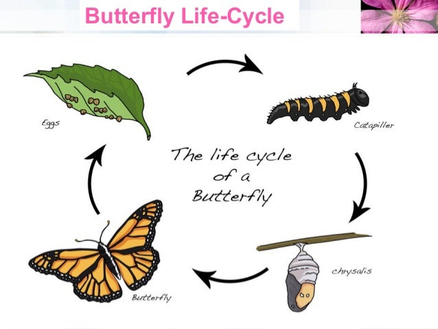 4 Butterfly Life Cycle