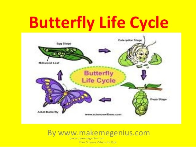 Butterfly Life Cycle For Kids on Life Cycle Plant Kindergarten Worksheet