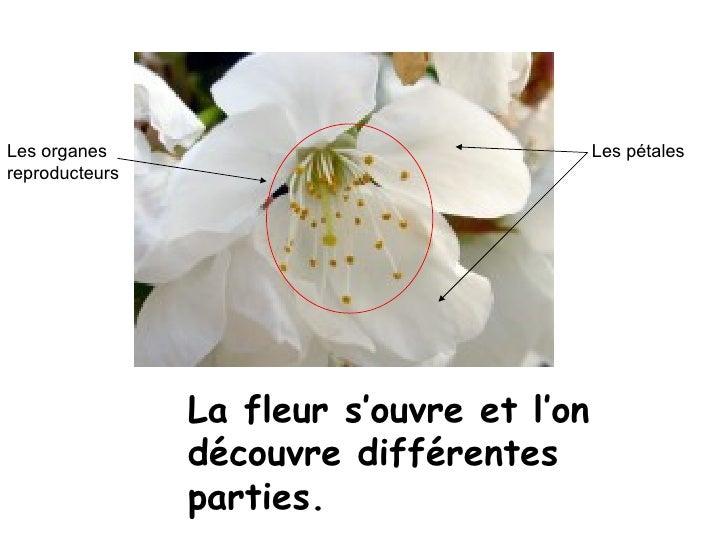 La fleur s'ouvre et l'on découvre différentes parties. Les pétales Les organes reproducteurs