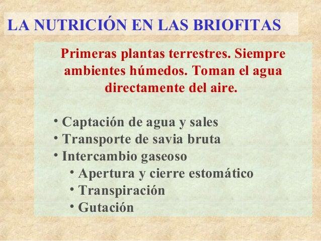 LA NUTRICIÓN EN LAS BRIOFITAS Primeras plantas terrestres. Siempre ambientes húmedos. Toman el agua directamente del aire....