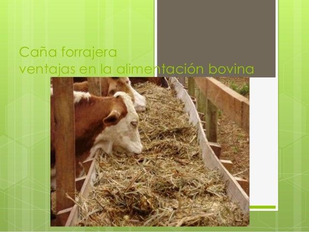 Caña forrajera para bovinos