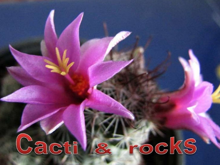 Cacti  &  rocks<br />