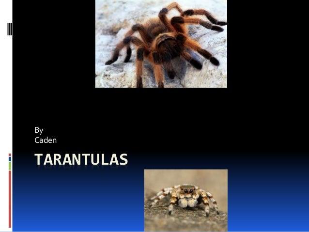 TARANTULAS By Caden