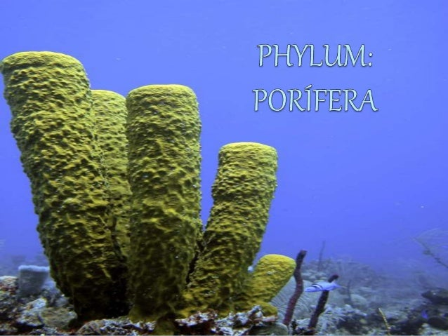 a description of phylum porifera Description, classification, synonyms of phylum porifera - sponges.