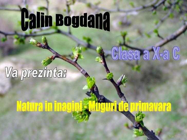 Calin Bogdana Clasa a X-a C Va prezinta: Natura in inagini - Muguri de primavara