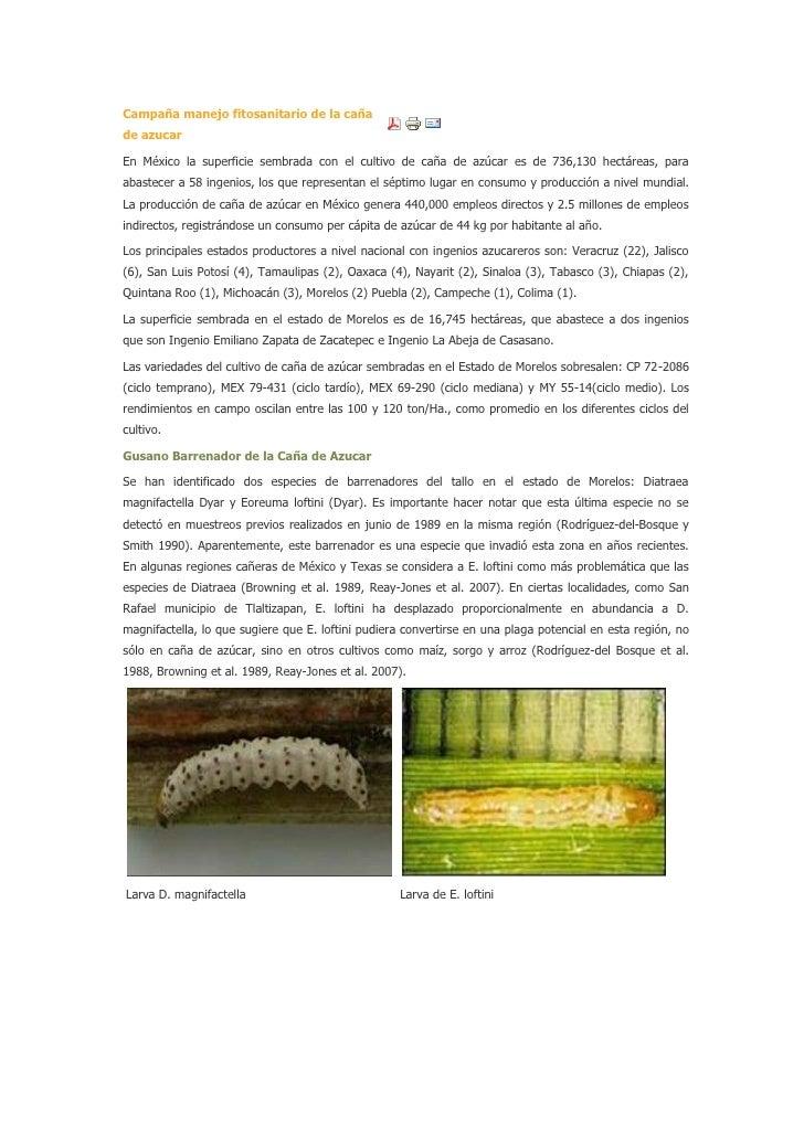 Campaña manejo fitosanitario de la cañade azucarEn México la superficie sembrada con el cultivo de caña de azúcar es de 73...