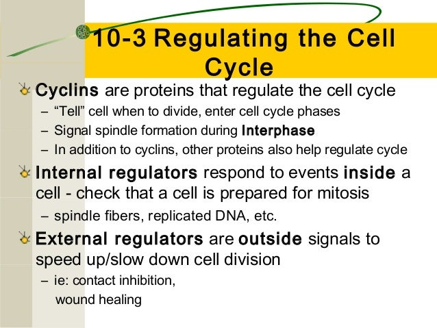 "10-3 Regulating the Cell Cycle  Cyclins are proteins that regulate the cell cycle – ""Tell"" cell when to divide, enter cel..."