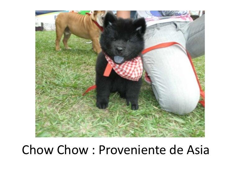 ChowChow : Proveniente de Asia<br />
