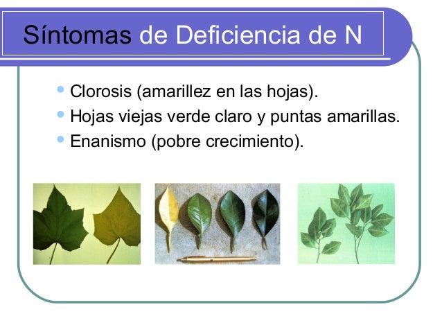 Síntomas de Deficiencia de N Clorosis (amarillez en las hojas). Hojas viejas verde claro y puntas amarillas. Enanismo (...