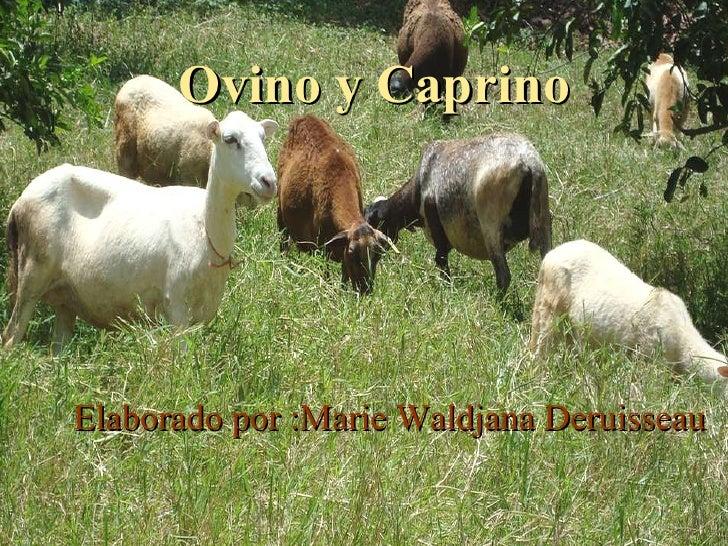 Ovino y Caprino  <ul><li>Elaborado por :Marie Waldjana  Deruisseau </li></ul>Elaborado por :Marie Waldjana Deruisseau Ovin...