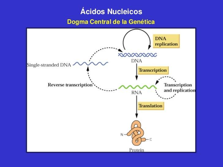 Ácidos NucleicosDogma Central de la Genética