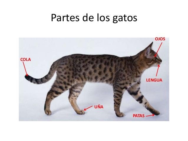 caracteristicas de los felinos pdf
