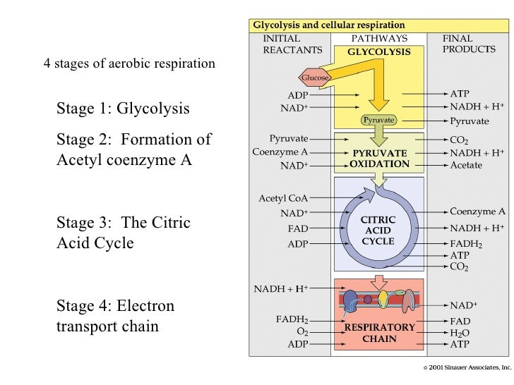Citric Acid Cycle Net Input And Output 3 The Citric Acid Cycle