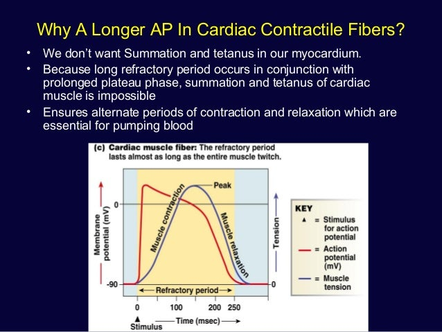 How long is the muscle contraction essay