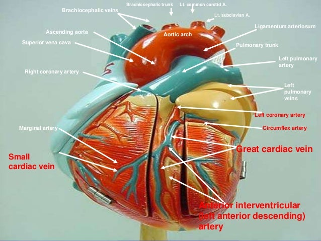 Great Cardiac Vein Rel...