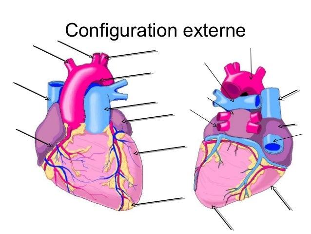 Cardio 2013 anatomie 1 annee for Atrium coeur