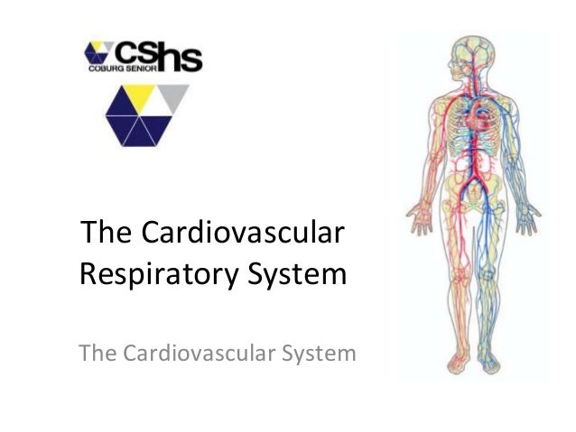 how the cardiovascular respiratory and digestive system are interrelated essay