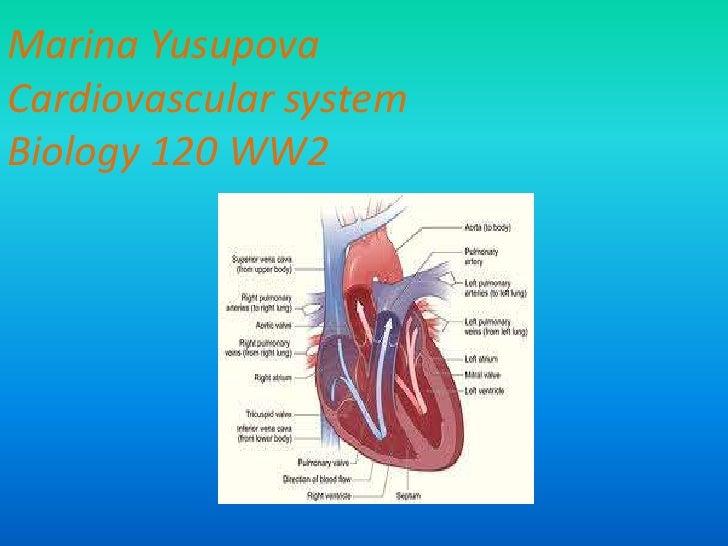 Marina YusupovaCardiovascular systemBiology 120 WW2<br />