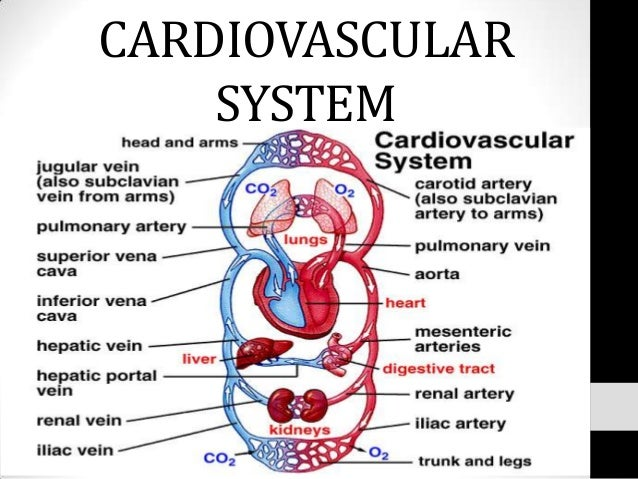 What Is the Importance of the Circulatory System?