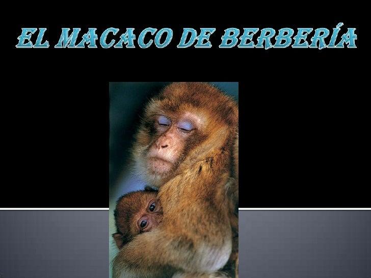    DISTRIBUCIÓN:   El Macaco de Berbería, o Mono de Gibraltar, (Macaca    sylvanus) es natural de África. Su distribució...