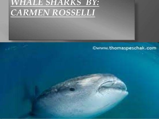 WHALE SHARKS BY:CARMEN ROSSELLI