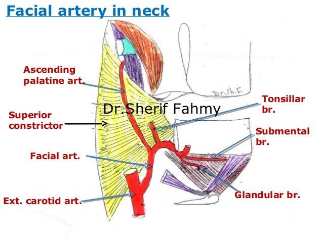 Neck artery anatomy