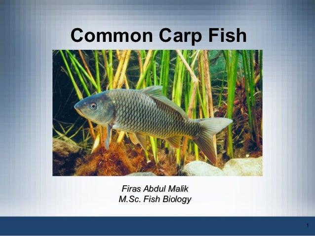 Common Carp Fish    Firas Abdul Malik    M.Sc. Fish Biology                         1