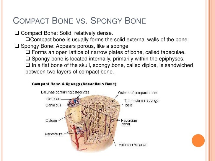 is bone a connective tissue Connective tissues perform many functions in the body, but most importantly, they support and connect other tissues from the connective tissue sheath that surrounds muscle cells, to the tendons that attach muscles to bones, and to the skeleton that supports the positions of the body.