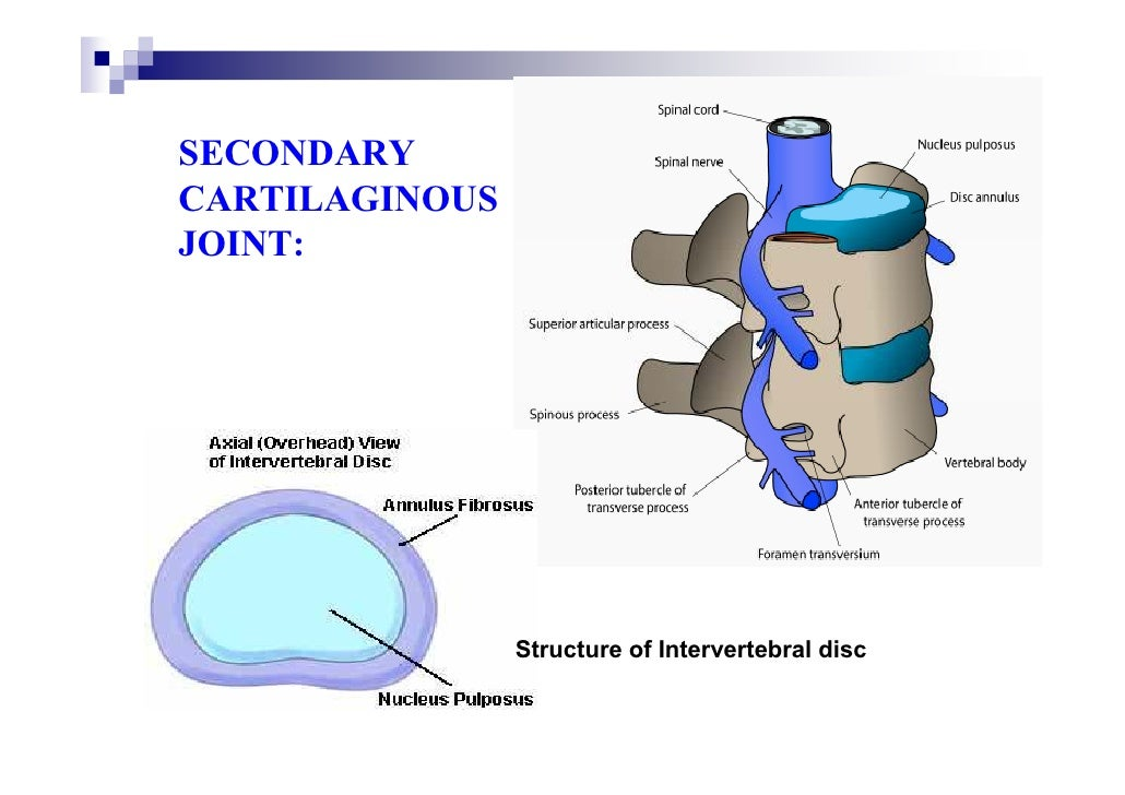 Cartilaginous Joints Diagram Secondary Cartilaginous Joint