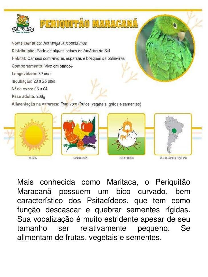 Mais conhecida como Maritaca, o PeriquitãoMaracanã possuem um bico curvado, bemcaracterístico dos Psitacídeos, que tem com...