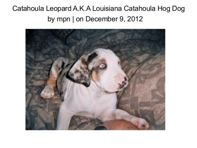Catahoula Leopard A.K.A Louisiana Catahoula Hog Dog          by mpn | on December 9, 2012