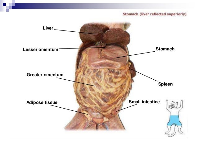 External anatomy of cat