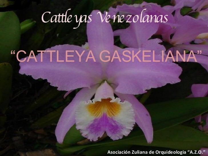 """Cattleyas Venezolanas """" CATTLEYA GASKELIANA"""" Asociación Zuliana de Orquideologia """"A.Z.O."""""""