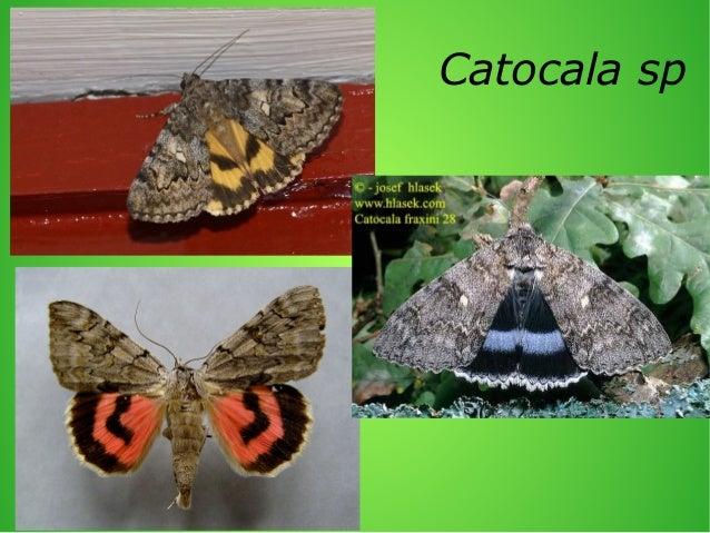 Catocala spp