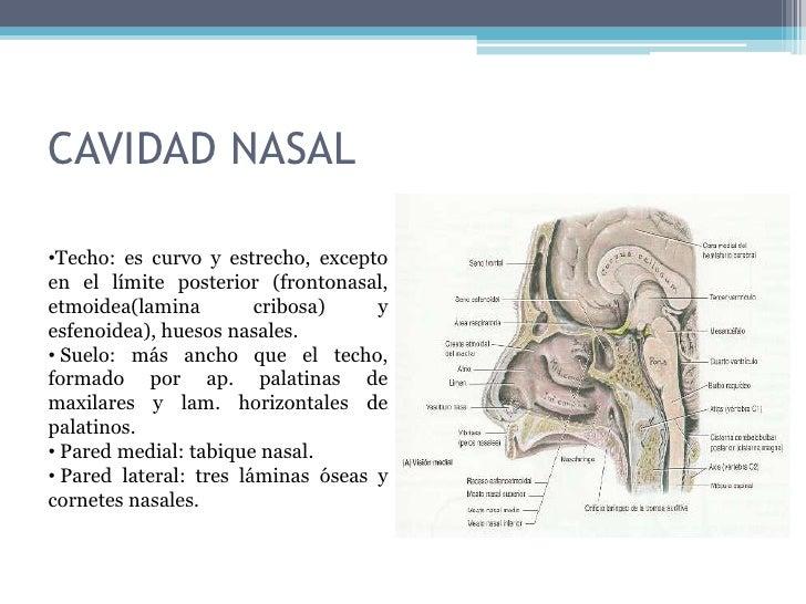 Cavidad nasal for Pared lateral de la cavidad nasal
